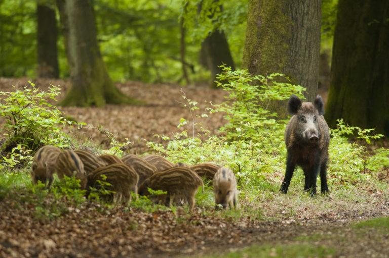 Een everzwijn met haar biggen op de Veluwe