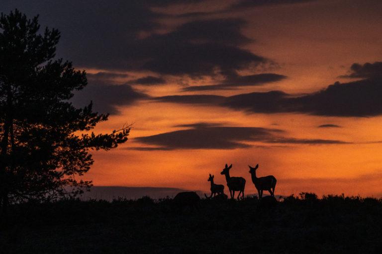 Tijdens zonsondergang komt het kaalwild op de Veluwe tevoorschijn