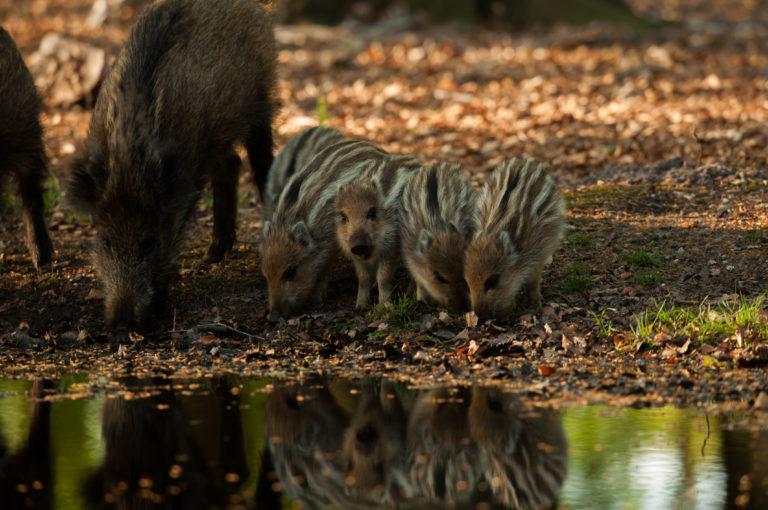 Wildzwijnbiggen op de Veluwe