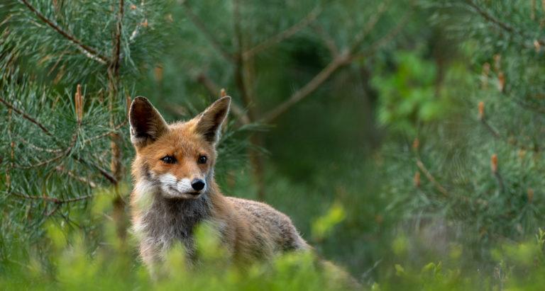Een nieuwsgierig vosje op de Veluwe