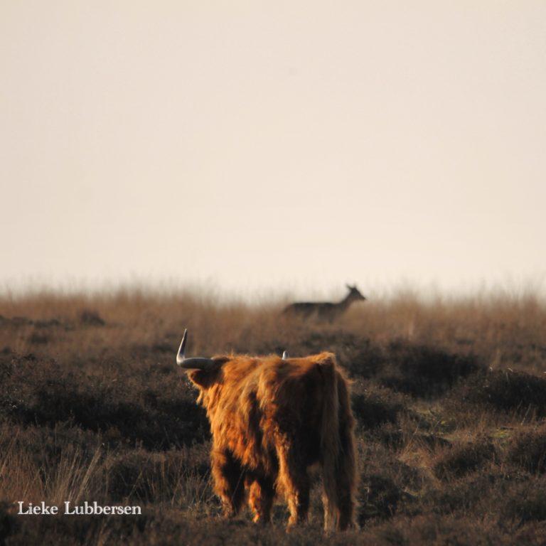 Spot Schotse hooglanders tijdens je vakantie bij WoudStee